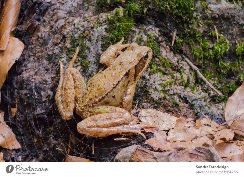 A brown toad sits on the forest floor Stil wandern Garten Natur Tier Erde Sträucher Wald Frosch Zoo 1 Jagd springen frog wild amphibian wildlife leaf leaves