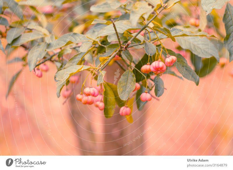 Pfaffenhütchen (Euonymus europaeus) Natur Pflanze grün Landschaft rot Baum Blatt Wald Herbst Wärme Blüte natürlich Garten Park Feld Wachstum