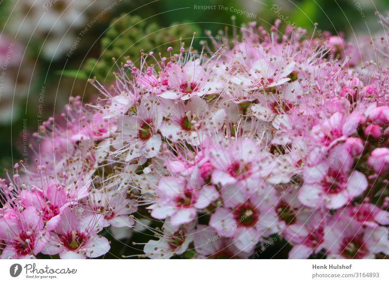 """Schöne Spiraea japonica """"kleine Prinzessin"""". Natur Pflanze Blume Garten grün rosa Blütenblatt Makroaufnahme Farbfoto Außenaufnahme Menschenleer Freisteller"""