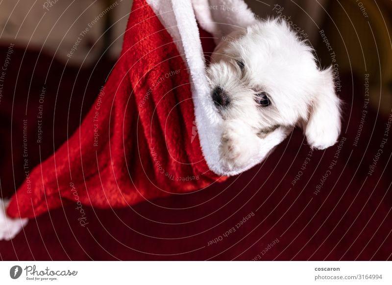Maltesischer Welpe in einem Weihnachtshut zu Weihnachten Gesicht Winter Haus Wohnzimmer Feste & Feiern Weihnachten & Advent Silvester u. Neujahr Baby Tier Anzug