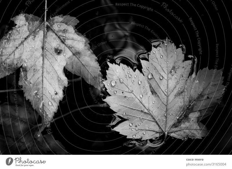 Blätter Natur Wasser Wassertropfen Herbst Blatt beobachten ruhig Erholung Schwarzweißfoto Außenaufnahme Nahaufnahme Tag Reflexion & Spiegelung