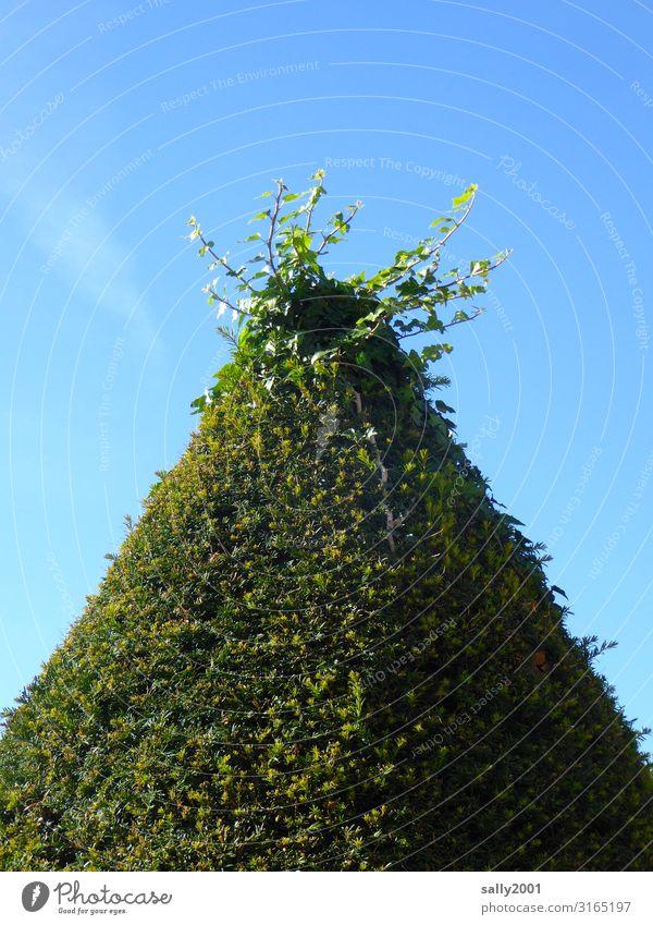 Auswuchs... Wolkenloser Himmel Sommer Schönes Wetter Pflanze Grünpflanze Sträucher Wachstum ästhetisch einzigartig natürlich grün Genauigkeit bewachsen