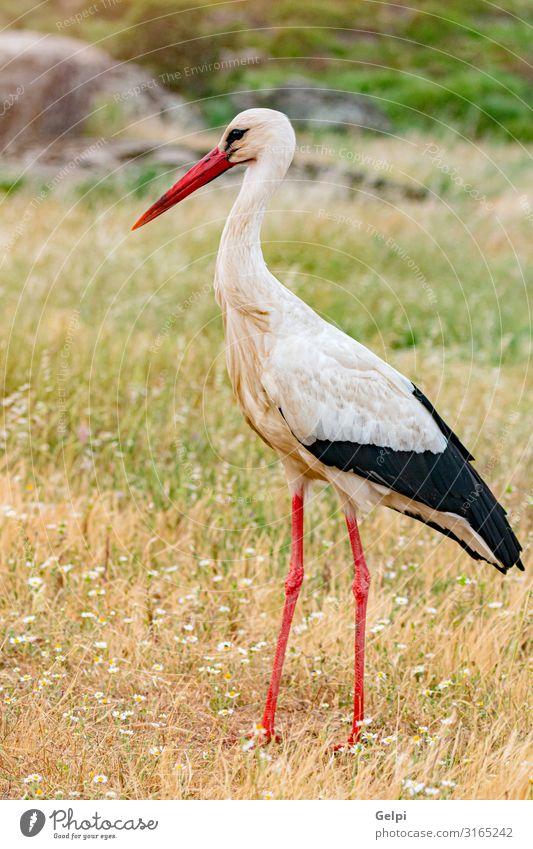 Eleganter Weißstorch elegant schön Freiheit Erwachsene Natur Tier Wind Blume Gras Vogel lang wild grün rot schwarz weiß Farbe Zusammenhalt Storch Schnabel
