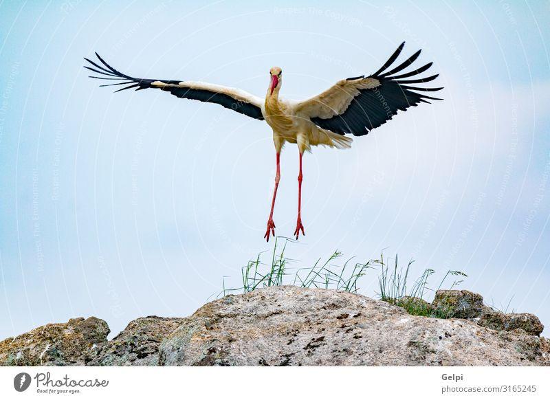 Eleganter Weißstorch elegant schön Freiheit Erwachsene Natur Tier Wind Blume Gras Vogel fliegen lang wild grün rot schwarz weiß Farbe Zusammenhalt Storch