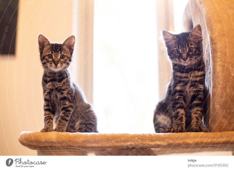 Emmy und Smilla Haustier Katze 2 Tier Tierpaar Tierjunges Blick authentisch hoch klein Neugier niedlich Kratzbaum Rassekatze Savannah Farbfoto Gedeckte Farben