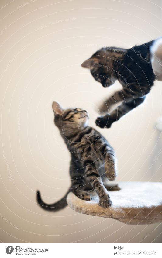 Geschwister Haustier Katze 2 Tier Tierjunges kämpfen Spielen Konflikt & Streit authentisch klein niedlich Gefühle Katzenbaby Farbfoto Gedeckte Farben