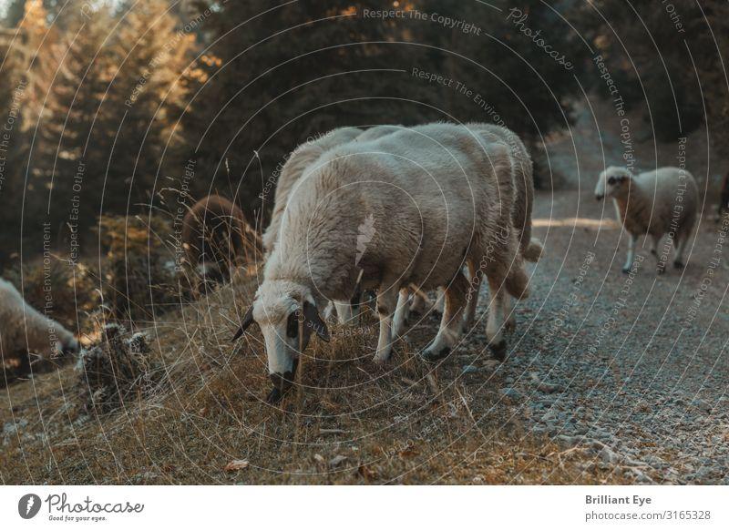 Grasen Natur Landschaft Tier ruhig Essen Herbst Umwelt natürlich Wiese Glück braun Zufriedenheit genießen Hügel Schaf Fressen
