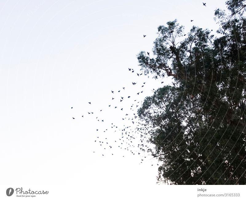 Schwarm Himmel Wolkenloser Himmel Baum Wildtier Vogel Vogelschwarm fliegen authentisch viele wild Baumkrone Farbfoto Gedeckte Farben Außenaufnahme Menschenleer