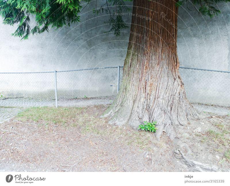 Baumstamm Sommer Schönes Wetter Dorf Kleinstadt Menschenleer Mauer Wand Fassade Geländer authentisch dick nachhaltig Stadt braun grau grün Wachstum Nadelbaum