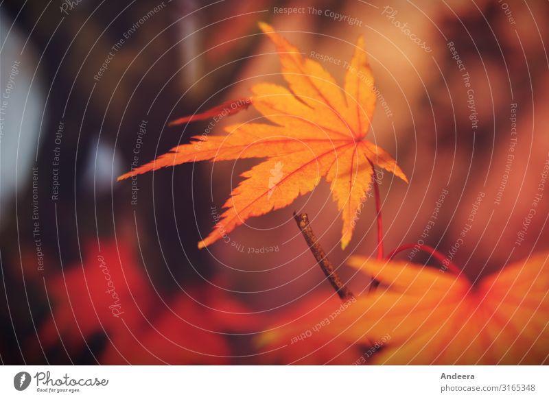 Herbstblatt ruhig Natur Pflanze Baum Blatt Park Wald Holz einfach nachhaltig natürlich braun gelb orange rot schwarz Farbe Klima Leben Umwelt Umweltschutz