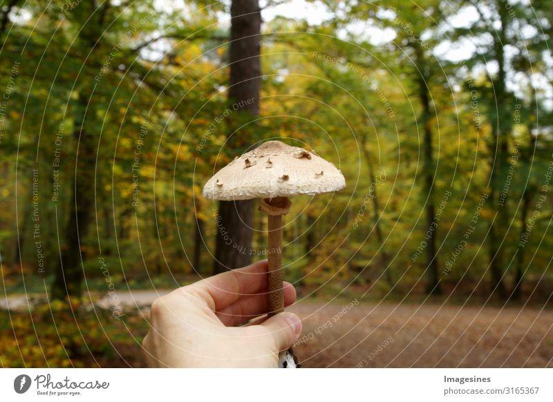 Parasol Lebensmittel Gemüse Pilz Pilzsucher Ernährung Lifestyle Pilze sammeln Mensch feminin Erwachsene Hand 1 Umwelt Natur Landschaft Herbst Klima Wald lecker