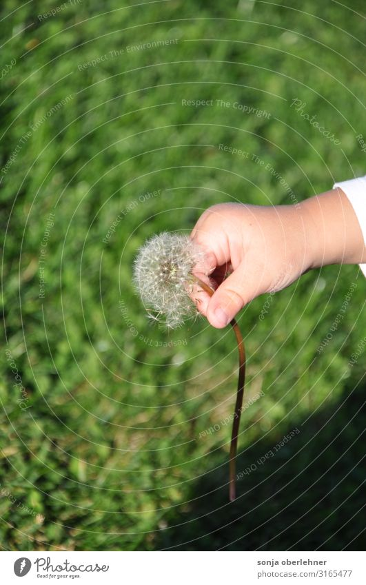 Kleinkind pflückt Pusteblume Hand Finger 1 Mensch Natur Pflanze Sommer Herbst Schönes Wetter Blume Gras Blüte Löwenzahn Garten Wiese berühren Blühend festhalten