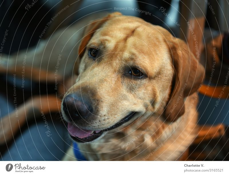 Mo-Porträt   UT HH19 Tier Haustier Hund Tiergesicht leuchten liegen Blick authentisch blond Freundlichkeit groß kuschlig nah unten blau braun Gefühle geduldig