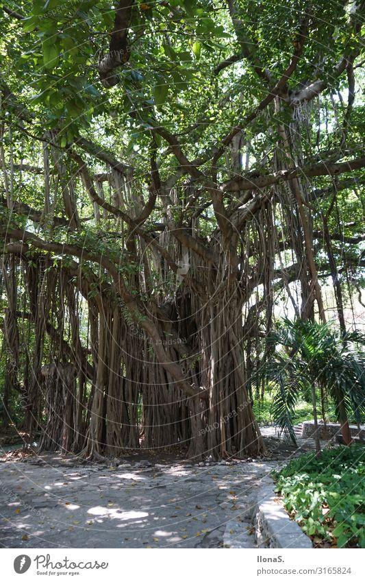Banyanbaum Ferien & Urlaub & Reisen Ausflug Abenteuer Ferne Sightseeing Städtereise Umwelt Natur Landschaft Pflanze Tier Baum Blatt Grünpflanze Park Urwald Holz