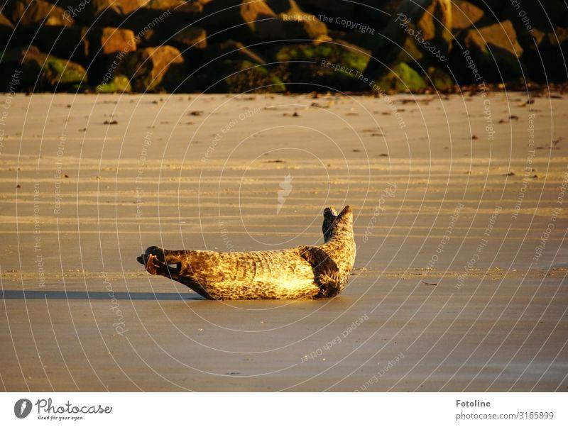 Jeah! Sonne auf den Pelz brennen lassen! Umwelt Natur Tier Urelemente Erde Sand Schönes Wetter Küste Strand Nordsee Wildtier 1 frei hell nah nass natürlich