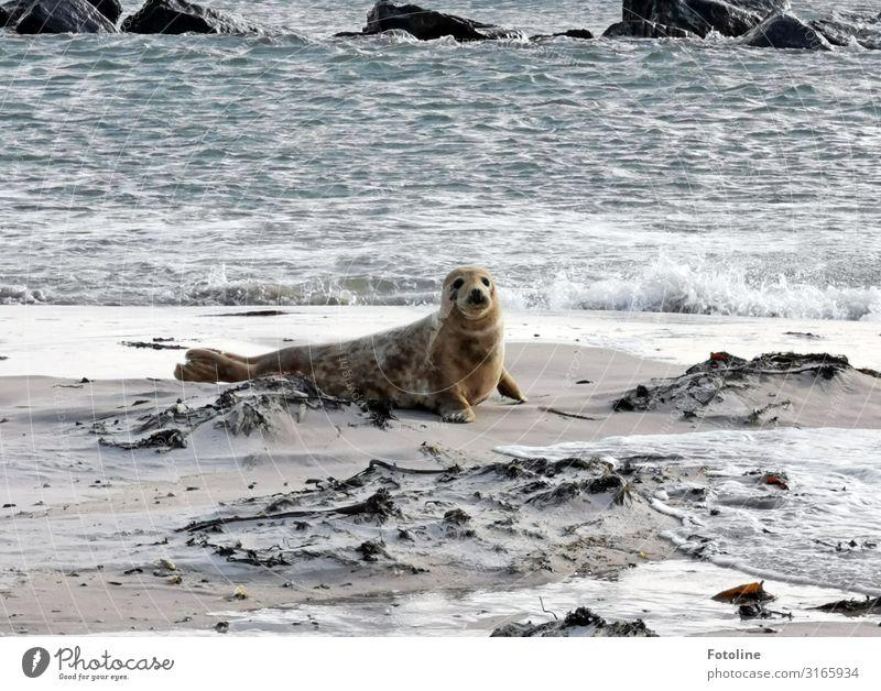 Helgolands next Topmodel Umwelt Natur Tier Urelemente Erde Sand Wasser Wellen Küste Strand Nordsee Meer Insel Wildtier Fell 1 frei hell nah nass natürlich grau
