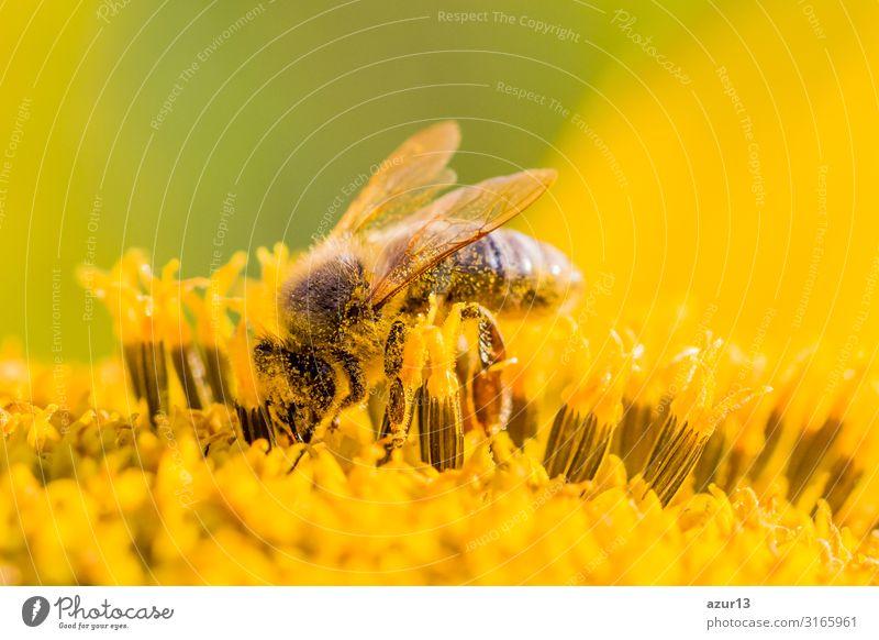 Honey bee covered with yellow pollen collecting sunflower nectar Sommer Umwelt Natur Klima Klimawandel Pflanze Garten Wiese Feld Tier Nutztier Biene 1 gelb