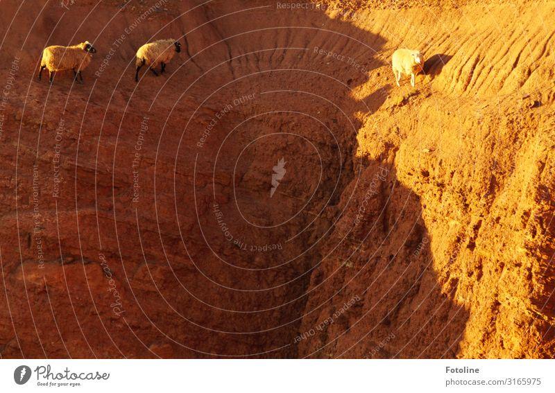 Heidschnucken Umwelt Natur Urelemente Erde Felsen Tier Nutztier 3 frei hell natürlich sportlich Wärme braun Helgoland Klettern Geschicklichkeit Farbfoto