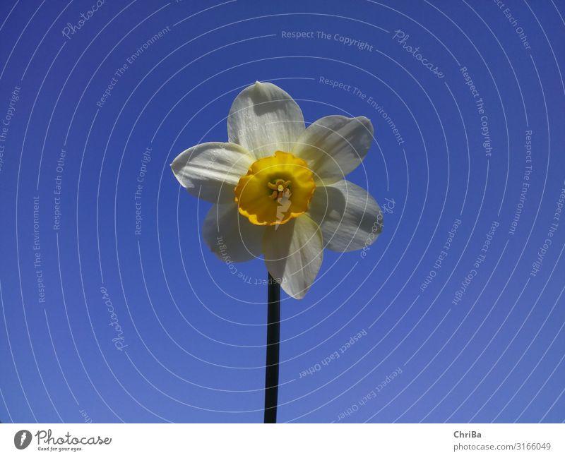 Osterglocke mit blauem Himmel Freude Glück Wohlgefühl Zufriedenheit Gärtner Sommer Feste & Feiern Ostern Umwelt Natur Pflanze Wolkenloser Himmel Sonnenlicht