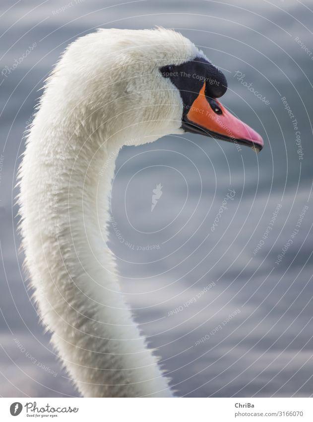 Aufgeplusterter Schwan Zufriedenheit Sinnesorgane Meditation Ausflug Freiheit Wellen Umwelt Natur Tier Wasser Wassertropfen Herbst Küste Seeufer Flussufer Teich
