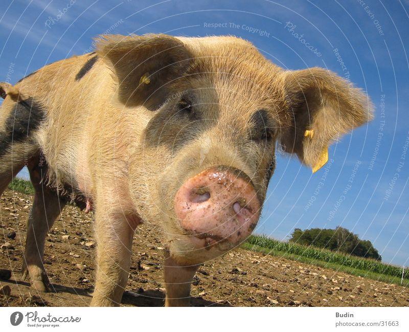 Schweinegesicht staunen Nahaufnahme