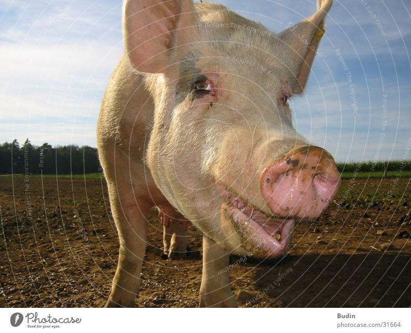 Schweinegesicht lachen