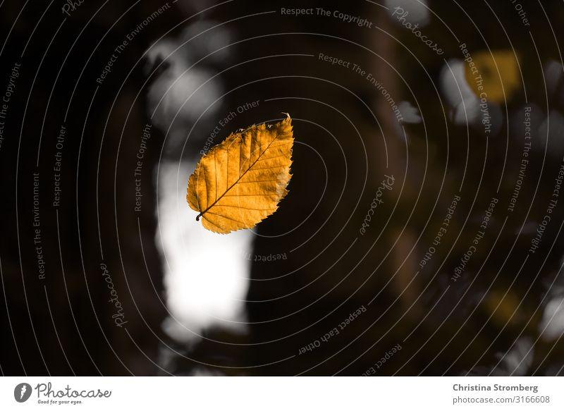 Von der Leichtigkeit eines Blattes Umwelt Natur Pflanze Luft Herbst Park Wald fallen frei braun gelb Vorsicht Gelassenheit ruhig Optimismus leicht Herbstlaub