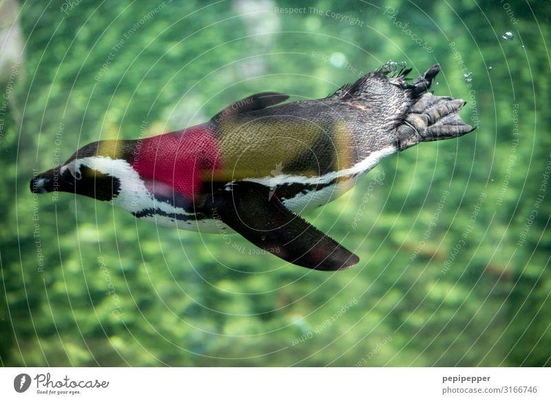 Humboldt-Pinguin Zoo Wasser Sommer Tier Wildtier Tiergesicht Flügel Fell Krallen Pfote Fährte Aquarium 1 Schwimmen & Baden tauchen grün Farbfoto Außenaufnahme