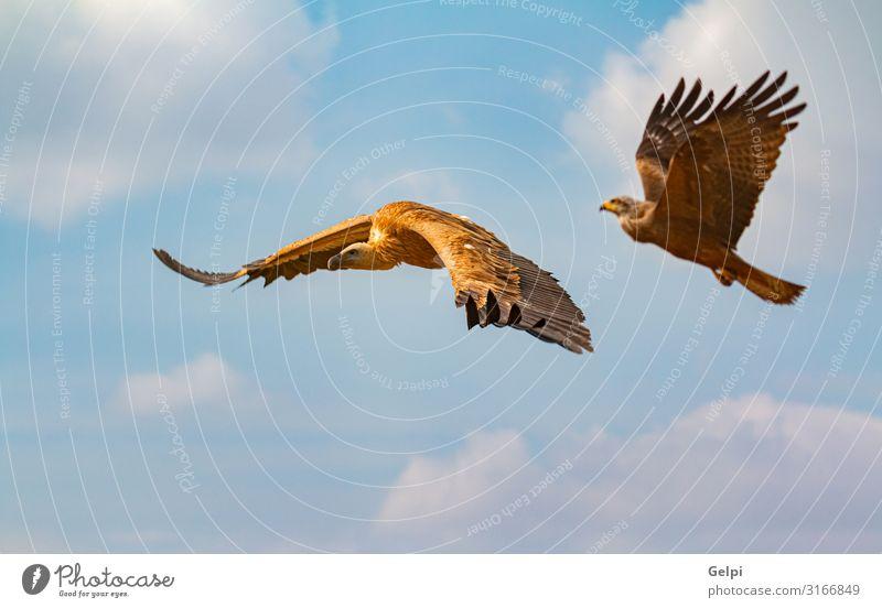 Großer Braungeier und ein fliegender Adler Gesicht Natur Tier Himmel Wolken Vogel natürlich wild braun schwarz weiß Tierwelt Geier Milan Landen Flügel