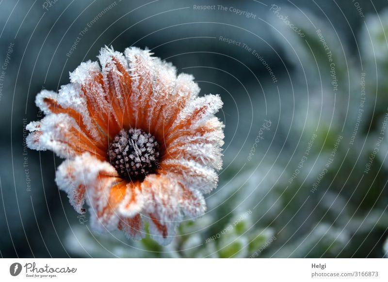 mit Eiskristallen besetzte orangefarbige Blüte im Herbst Umwelt Natur Pflanze Frost Blume Park Blühend frieren glänzend authentisch außergewöhnlich schön