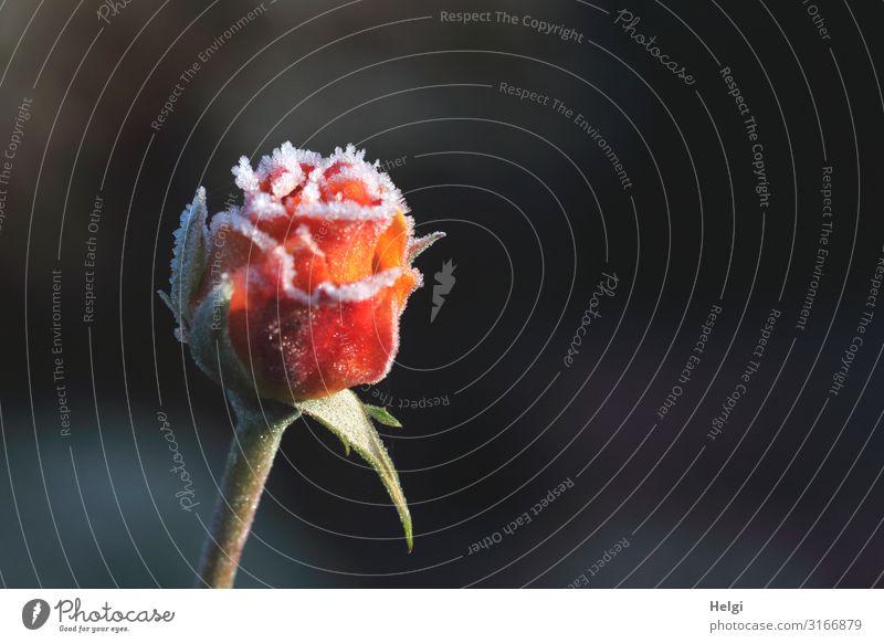 fast geschlossene Rosenblüte im Herbst, mit Eiskristallen besetzt vor dunklem Hintergrund Umwelt Natur Pflanze Frost Blume Blüte Park Blühend frieren glänzend