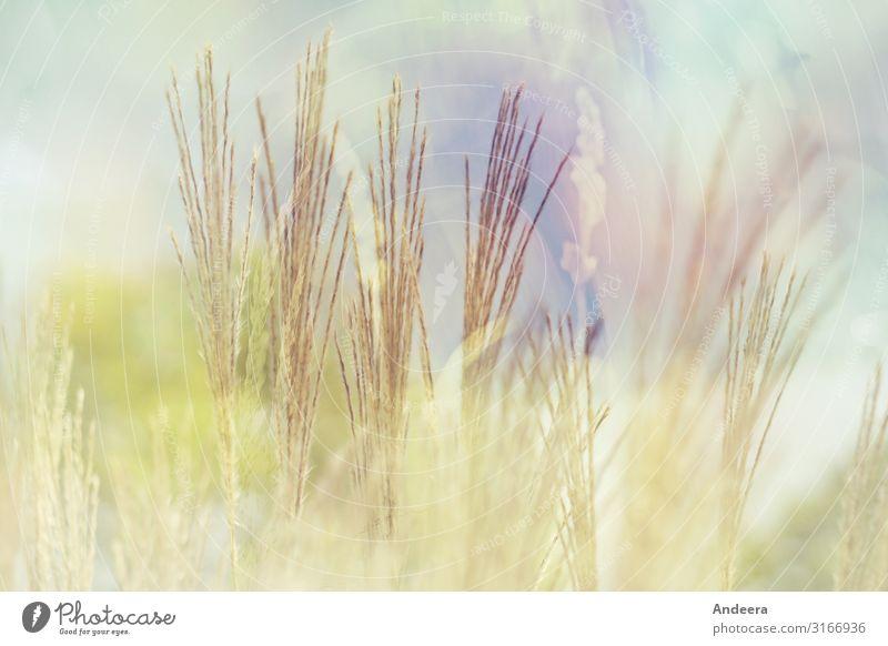Gräser vor hellblauem Himmel mit Pastelltönen und Unschärfe Umwelt Natur Pflanze Luft Sommer Klima Wetter Gras Wildpflanze Garten Park Wiese Feld träumen