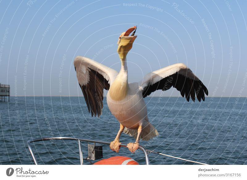Immer nur Fisch. Ein mit geöffnetem Maul auf einem Boots Geländer sitzender Pelikan mir geöffneten Flügeln. Im Hintergrund das Meer. Freude harmonisch Ausflug