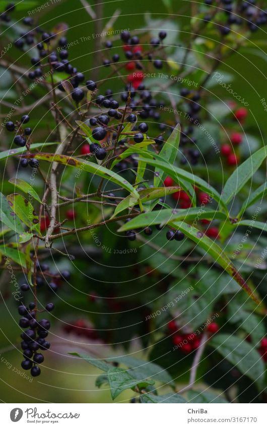 Herbstzeit Umwelt Natur Pflanze Baum Sträucher Blatt Wildpflanze Duft Wachstum ästhetisch frei glänzend klein natürlich positiv grün rot schwarz erleben Farbe