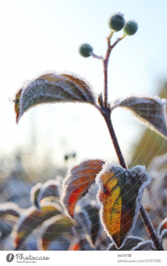 Raureif im Gegenlicht Natur Pflanze Sonnenlicht Herbst Schönes Wetter Eis Frost Sträucher Blatt Grünpflanze Hartriegel Garten Park braun gelb grün rot schwarz