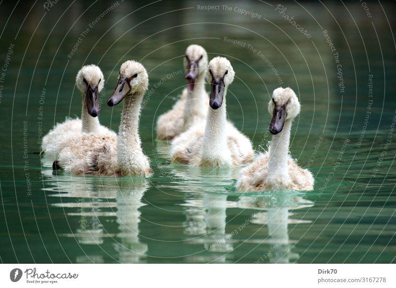 Schwanenbande Umwelt Natur Wasser Park Teich See Bach Palma de Mallorca Spanien Balearen Tier Wildtier Vogel Höckerschwan Jungvogel Tiergruppe Tierjunges