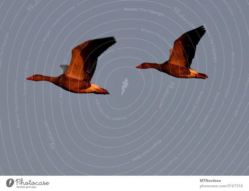 Aufbruch Natur Tier Himmel Wolkenloser Himmel Sonnenaufgang Sonnenuntergang Herbst Schönes Wetter Wildtier Vogel Flügel 2 Tierpaar blau Gefühle Glück