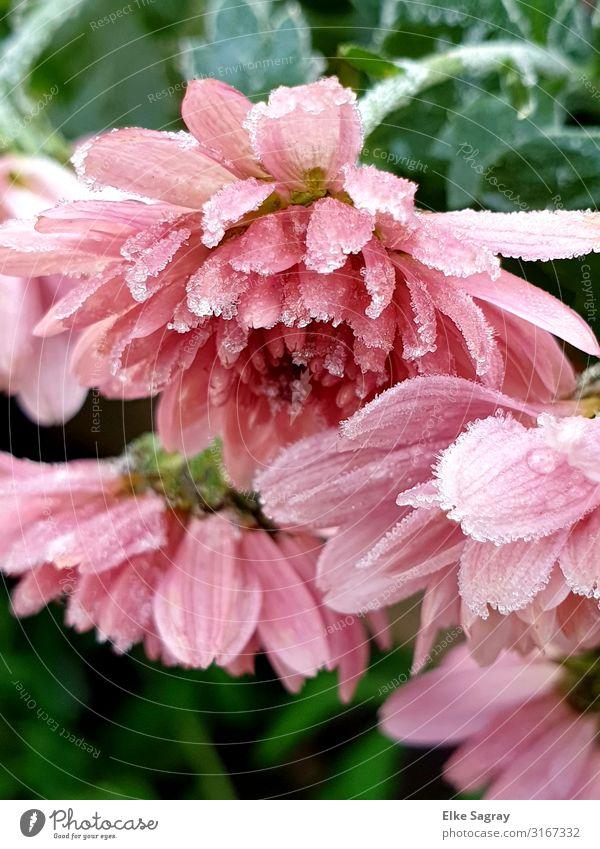 Eis-Blumem- Blumen im Eis.... Pflanze Tier Armut Ende Natur Farbfoto Außenaufnahme Nahaufnahme Menschenleer Morgen Tag Unschärfe Froschperspektive