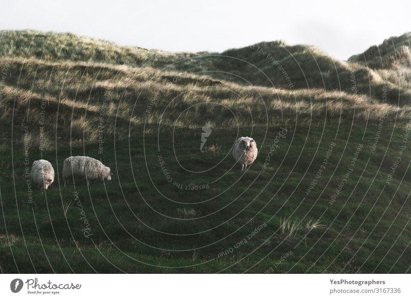Dünen mit grünem Moos und hohem Gras und Schafen auf der Insel Sylt Ferien & Urlaub & Reisen Sommer Umwelt Natur Landschaft Sand Sonnenaufgang Sonnenuntergang