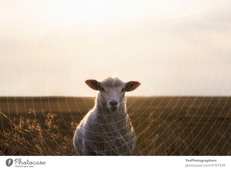 Weißes Schafporträt im Hochgras auf der Insel Sylt bei Sonnenaufgang Ferien & Urlaub & Reisen Sommer Sommerurlaub Sonnenbad Natur Landschaft Tier Sand