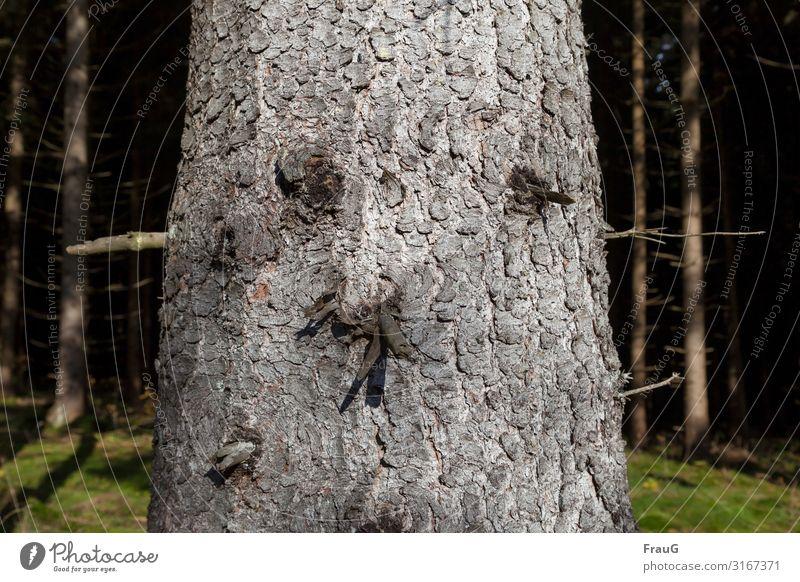 Baumgesicht | objektiv Baumstamm Holz Fichte Rinde Baumrinde Gesicht Zweige u. Äste Wald Natur Pflanze Umwelt Herbst