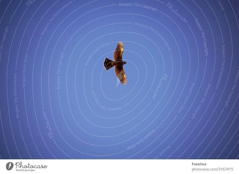 Runden ziehen Umwelt Natur Tier Urelemente Luft Himmel Wolkenloser Himmel Wetter Schönes Wetter Wildtier Vogel Flügel 1 elegant frei hell hoch natürlich blau