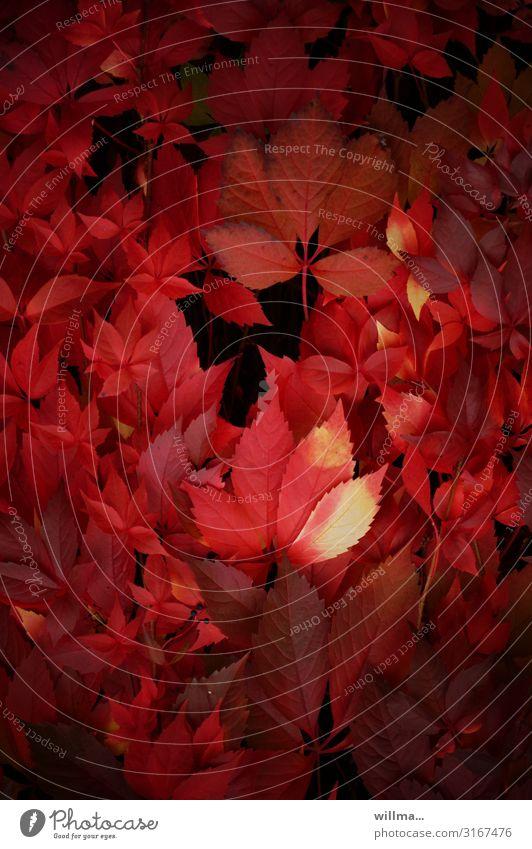 Wilder Wein in roter Herbstfärbung Blatt Kletterpflanzen Hecke herbstlich Dekoration & Verzierung