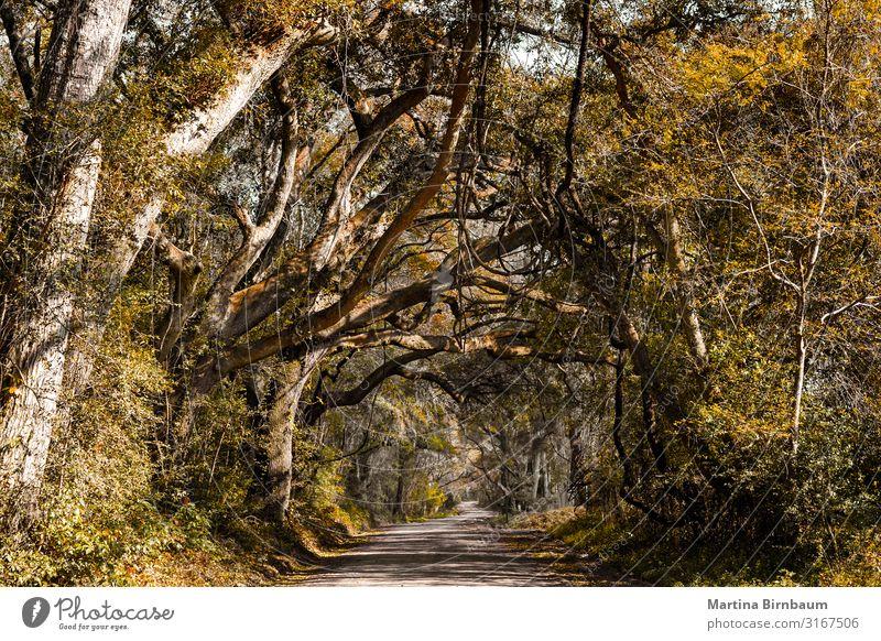 Gasse mit alten Eichen und spanischem Moos Ferien & Urlaub & Reisen Sommer Garten Umwelt Natur Landschaft Baum Gras Park Straße Wege & Pfade historisch grün