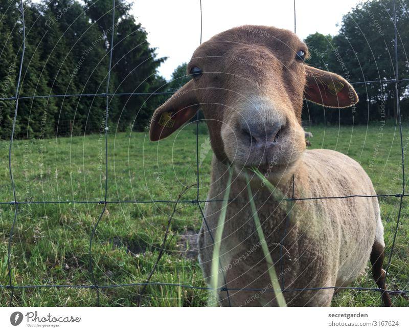 Fressen und gefressen werden... Schaf Nutztier Wiese Gras Weide Zaun Nase Maul Blick süß Tier Außenaufnahme Natur Menschenleer Tierporträt grün Wolle Landschaft