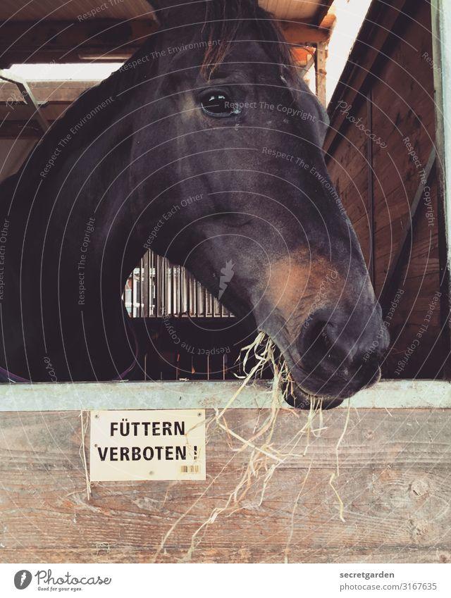 rebellisch. Tier Fenster Essen Holz braun Schilder & Markierungen Hinweisschild Neugier Pferd Vegetarische Ernährung Appetit & Hunger Fressen Tiergesicht