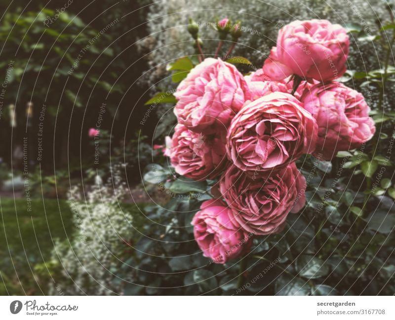 Rosa Grüße zum Vatertag. analog Rosen Rosenblüte Rosengewächse Rosengarten Garten Strauchrose strauch rosa Blüte volle Blüte blütenpracht Sommer sommerlich grün