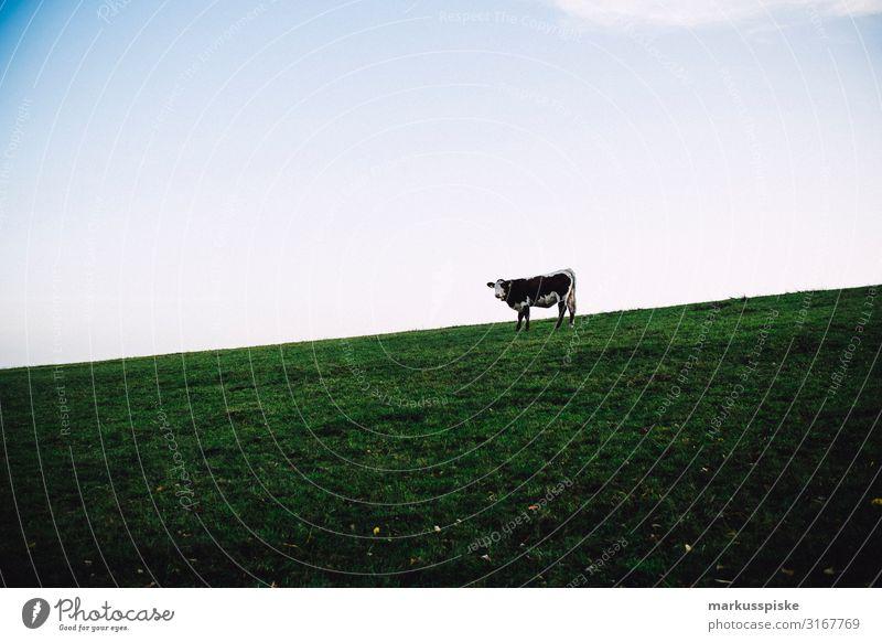 Weiderind - Einzelne Kuh auf der Weide Freizeit & Hobby Ferien & Urlaub & Reisen Tourismus Ausflug Abenteuer Freiheit wandern Arbeit & Erwerbstätigkeit Beruf
