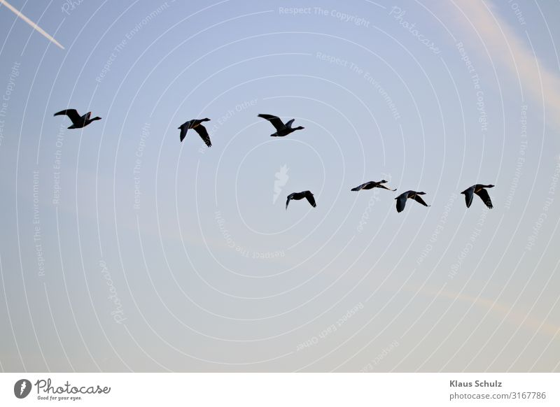 Kanadagänsen im Flug Kanadagans Gänse Wildgans Graugans Nilgans fliegen Schwimmende Natur Vogelwelt Wildleben Schwingen flügel federn