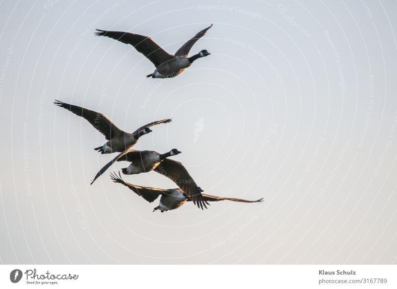 Kanadagänse im Flug Kanadagans Gänse Wildgans Graugans Nilgans fliegen Schwimmende Natur Vogelwelt Wildleben Schwingen flügel federn